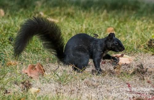 A Black Squirrel burying nuts.