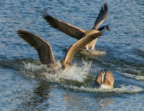 Canada Geese landing on water