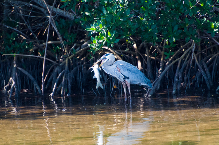 Blue Heron with fish 2
