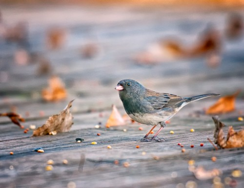 Junco on the deck