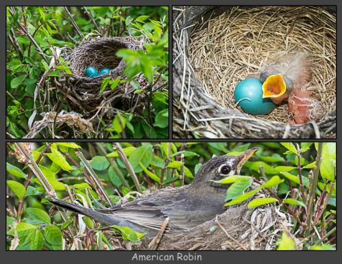 American Robin Nest-Triple